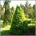 Świerk Conica